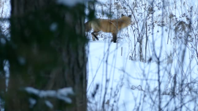Red fox appearing from behind a tree and walking slowly on snowy ground