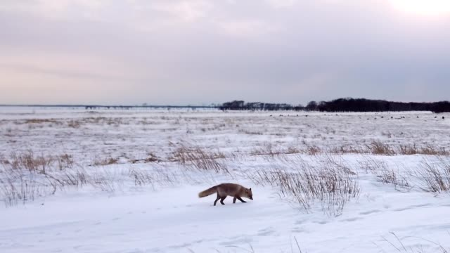 エゾレッドフォックスという赤い狐が北海道に住んでいます。 - キツネ点の映像素材/bロール