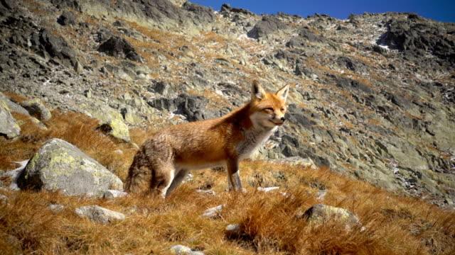 Zorro rojo cerca de la montaña en invierno 4k - vídeo