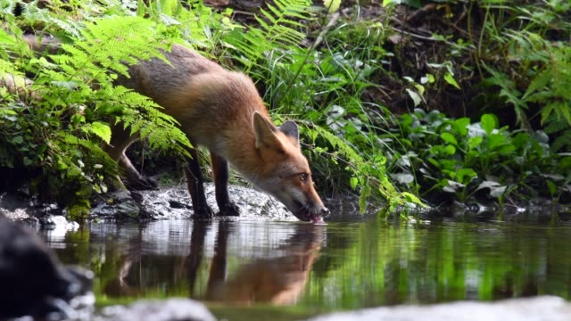 Red fox drinking from a forest stream