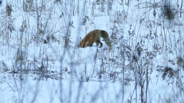 Red fox in Canada buries head in snow and jumps twice trying to catch mice