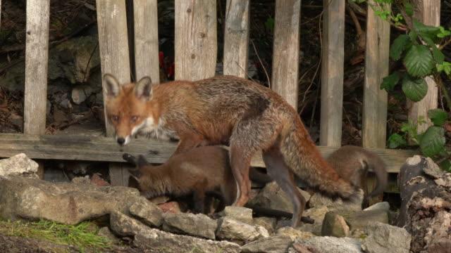 stockvideo's en b-roll-footage met red fox (vulpes vulpes) - intieme 4k beelden van rode vos vixen met twee welpen - vrouwtjesdier
