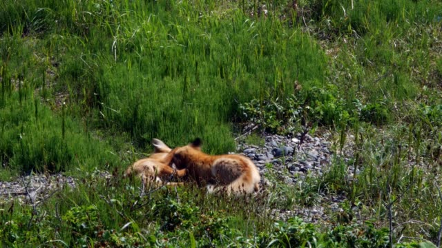 Red fox kits (Ezo red fox)