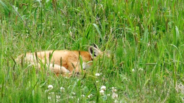 レッドフォックス キット (蝦夷赤狐) - キツネ点の映像素材/bロール