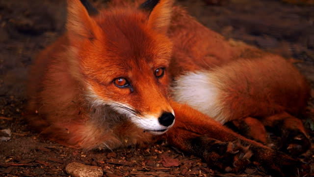 Red Fox lying on the ground, resting, sometimes looking around, licking own paw video