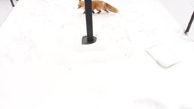 Red Fox playing in snow video