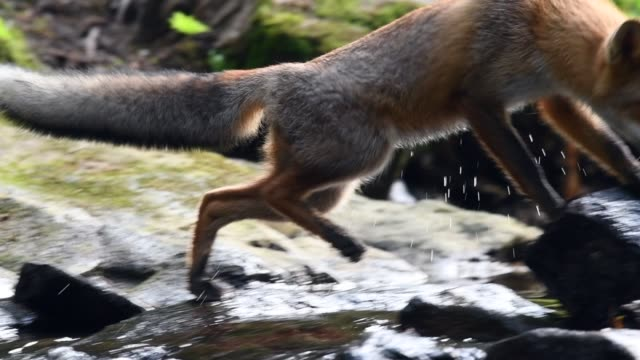 Red fox running in forest