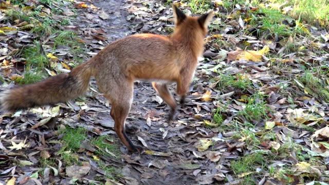 Rojo Fox corriendo en el camino en el bosque - vídeo