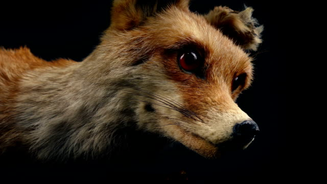 Red Fox Taxidermy Display Tracking shot moving slowly past red fox taxidermy display stuffed stock videos & royalty-free footage