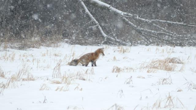 rotfuchs versucht 7 mal, maus zu fangen, indem er im schnee während schneefall springt - fuchs stock-videos und b-roll-filmmaterial
