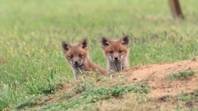 vídeos de stock e filmes b-roll de red fox video clip in 4k - coiote