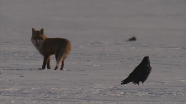 赤狐 (ホンドギツネ キツネ属) - キツネ点の映像素材/bロール