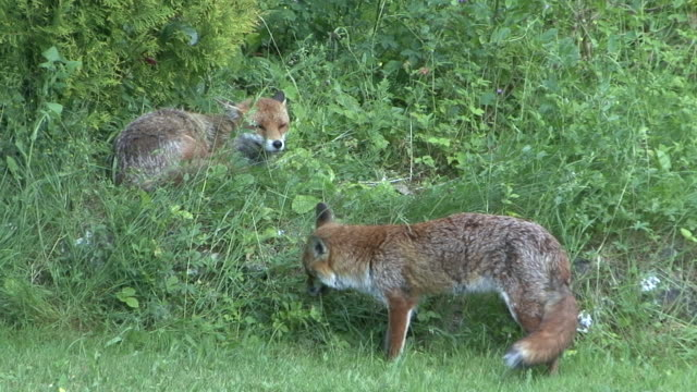 Red Fox – Video