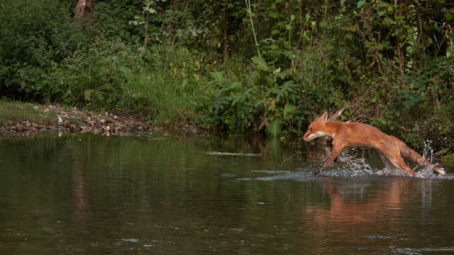 Red Fox, vulpes vulpes, Adult crossing River, Normandy in France, Slow motion 4K video