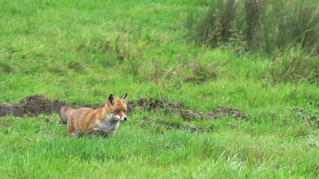 Red Fox, vulpes vulpes, Adult running on Grass, Normandy in France, Slow motion video