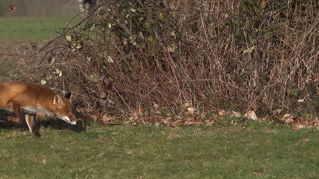 Red Fox, vulpes vulpes, Adult running on Grass, Slow motion