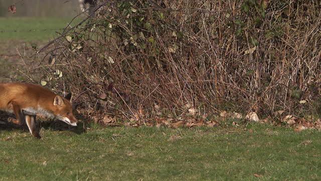 赤狐、がらがら、スローモーションの芝生の上を実行している大人 ビデオ