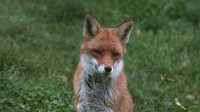 赤狐、ホンドギツネ キツネ属、4 K 草、ノルマンディー、実質の時間に立っている大人 ビデオ