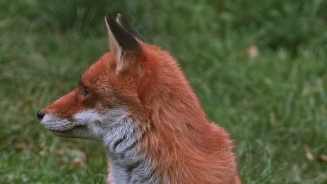 Red Fox, vulpes vulpes, Adult standing on Grass, Normandy, Real Time video