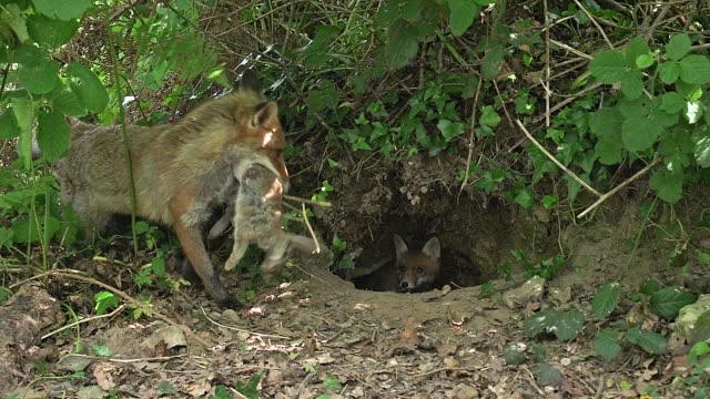 volpe rossa, vulpes vulpes, madre con un'uccisione, un coniglio per nutrire i cuccioli, normandia, tempo reale - full hd format video stock e b–roll