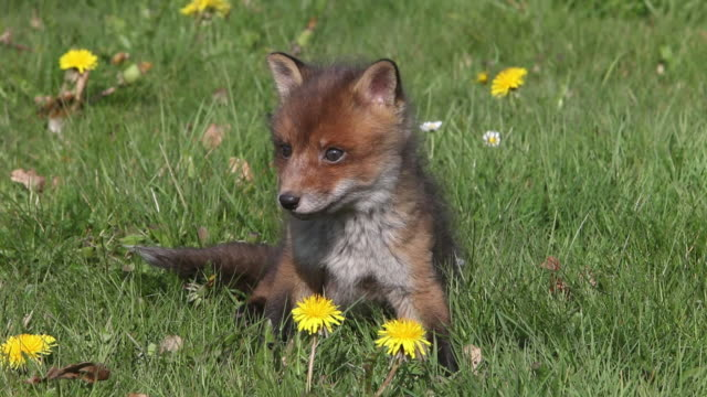 Red Fox, vulpes vulpes, Pup sitting in Meadow with Yellow Flowers, Looking around, Normandy in France, Real Time