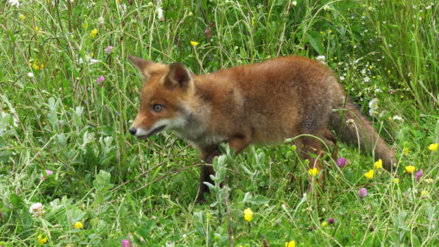 Red Fox, vulpes vulpes, Pup Walking in Meadow with Yellow Flowers, Normandy in France, Slow motion 4K