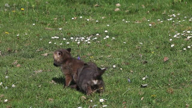Red Fox, vulpes vulpes, Pups playing on Grass, Normandy in France, Real Time