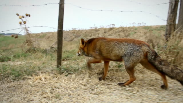 red fox walking and hiding video - fox stock videos and b-roll footage
