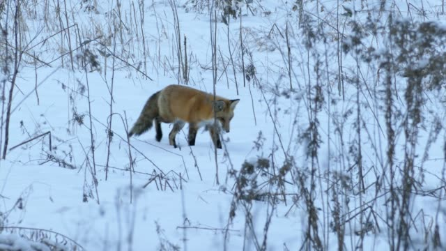 Red fox walking and slowing down after possible prey catches its attention