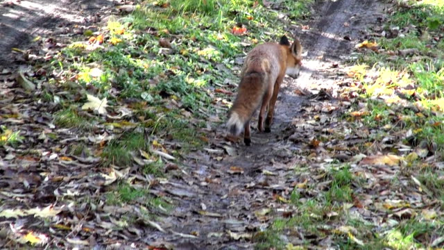 Red fox caminhando na estrada da floresta - vídeo