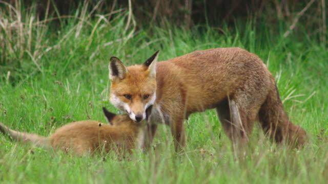 vídeos y material grabado en eventos de stock de zorro rojo con cachorro en campo de hierba - animal joven