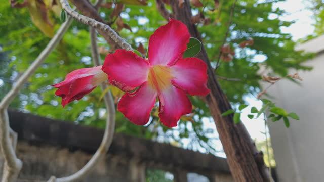 Red Frangipani flowers in garden