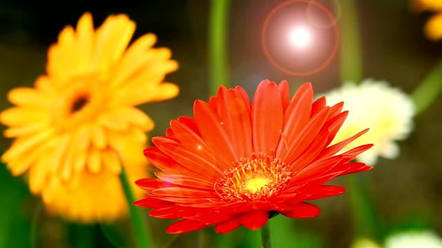 Red Gerbera daisy video
