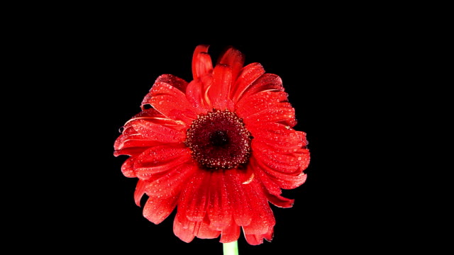 Red gerbera flower video