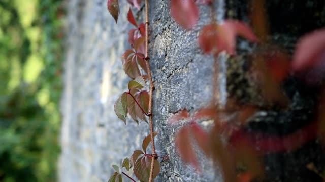 red grape vine branch climbs brick wall - vite flora video stock e b–roll