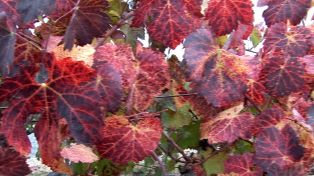 Red grapes leaves video