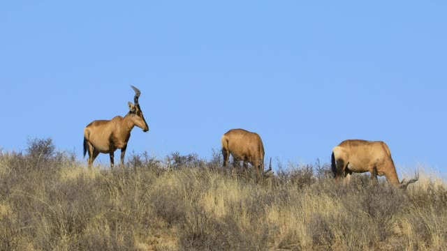 Red hartebeest antelopes grazing in natural habitat, South Africa
