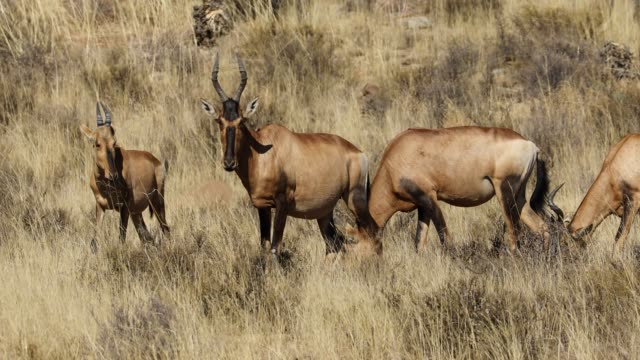 Red hartebeest antelopes (Alcelaphus buselaphus) grazing, South Africa