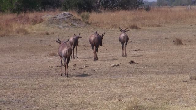 Red Hartebeest Walking Away on Dry Savanna in Botswana