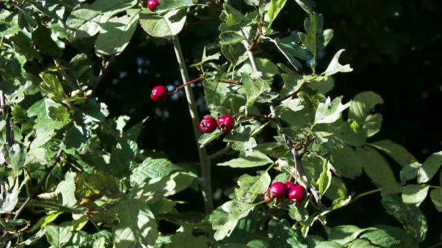 Red hawthorn berries filmed in October video