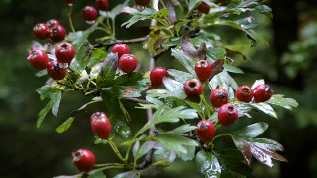 Red Hawthorn berries video