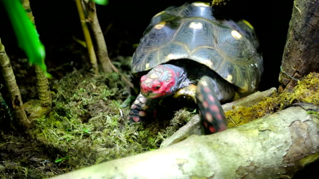 Red head turtle. Trachemys scripta elegans