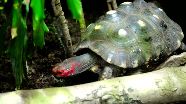 Tortuga de cabeza roja. Trachemys scripta elegans - vídeo