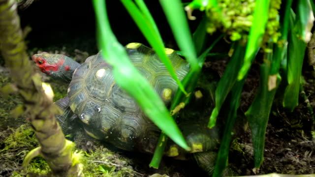Red head turtle. Trachemys scripta elegans video