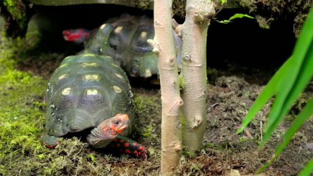 Red head turtles. Trachemys scripta elegans video
