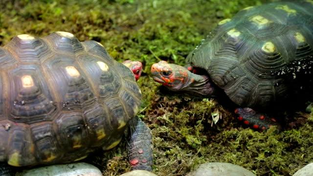 Red head turtles. Trachemys scripta elegans