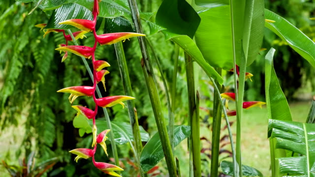 Red Heliconia flowers branch under falling rainy drops. Wet season. Lush green plants foliage in background video
