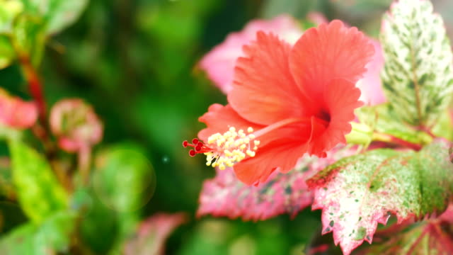 Red hibiscus flower video
