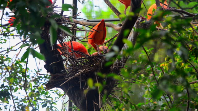 red ibis video