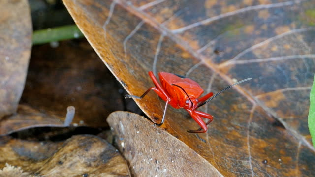 Red insect on dry leaves.